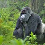 Gorilla reportedly swallows N10million in Kano State Zoo 10