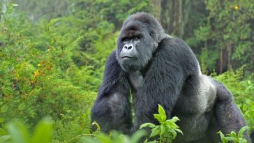 Gorilla reportedly swallows N10million in Kano State Zoo 4