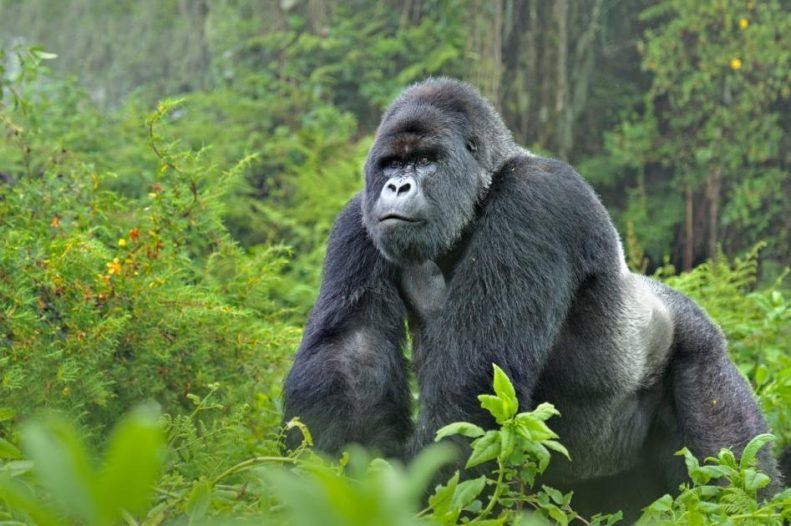 Gorilla reportedly swallows N10million in Kano State Zoo 1