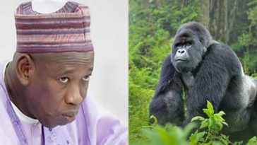 Governor Ganduje Orders Probe Into N6.8million Swallowed By Gorilla In Kano Zoo 2