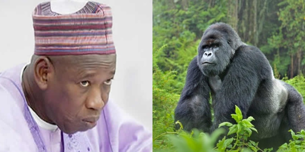 Governor Ganduje Orders Probe Into N6.8million Swallowed By Gorilla In Kano Zoo 1