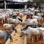 Akwa Ibom State Government Imports 2,000 Cows From Brazil For Ranching 11