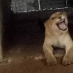 Lagos Government Discovers Lion Used As 'Security Guard' By Indian National 28