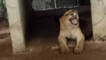 Lagos Government Discovers Lion Used As 'Security Guard' By Indian National 10