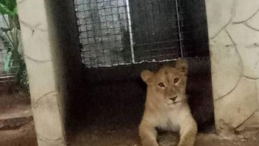 Lion used as security guard in Lagos Finally Captured [PHOTOS] 1