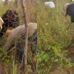 Former President, Olusegun Obasanjo Spotted Harvesting Yam In His Farm In Ogun [Photos] 28