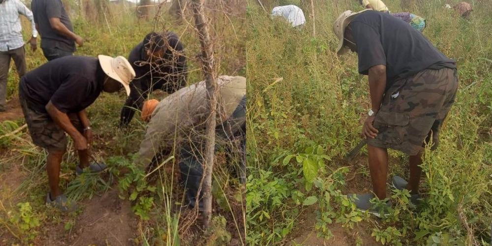 Former President, Olusegun Obasanjo Spotted Harvesting Yam In His Farm In Ogun [Photos] 1