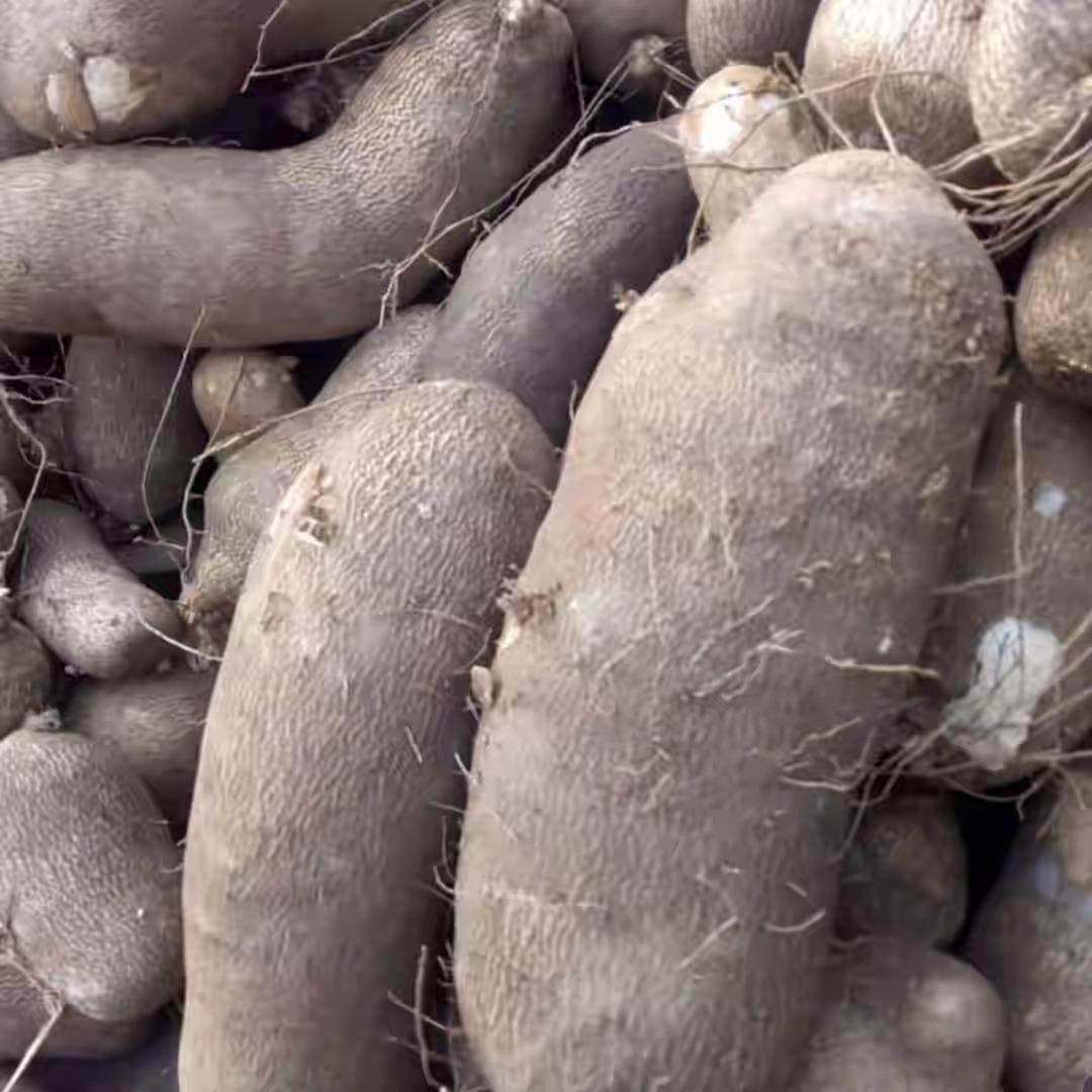 Former President, Olusegun Obasanjo Spotted Harvesting Yam In His Farm In Ogun [Photos] 4
