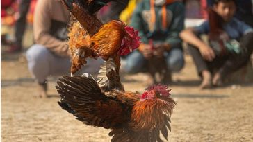 55-Year-Old Man Killed By 'Armed Chicken' During Cockfight In India 6