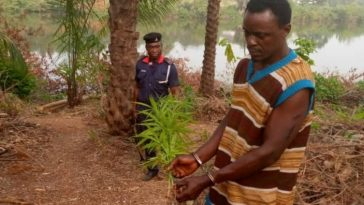 NSCDC Discovers Large Farm Of Indian Hemp Inside Secondary School In Anambra [Photos] 10