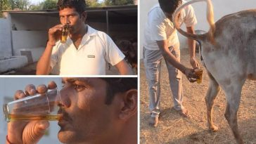 Indians Now Drink Cow Urine To Prevent Being Infected By Coronavirus 5