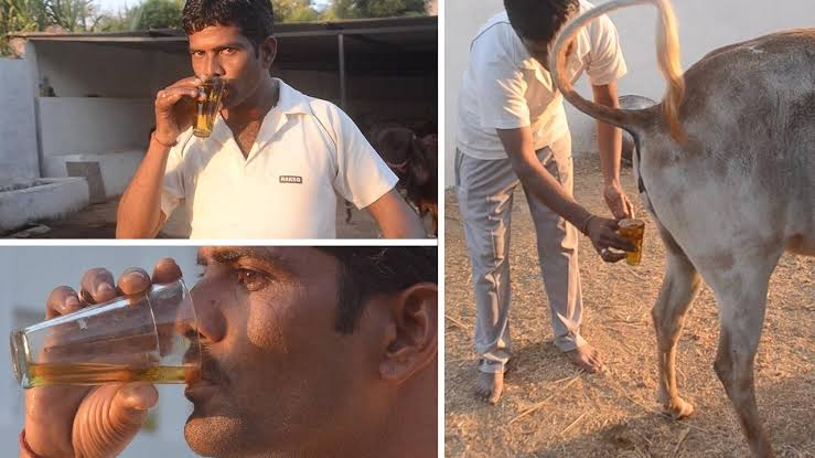 Indians Now Drink Cow Urine To Prevent Being Infected By Coronavirus 1
