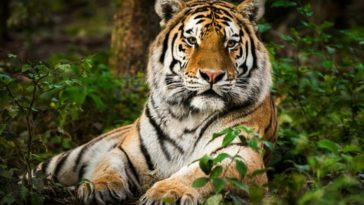 Tiger Tests Positive For Coronavirus At US Zoo, Becomes First Known Case In The World 6