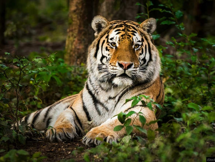 Tiger Tests Positive For Coronavirus At US Zoo, Becomes First Known Case In The World 1