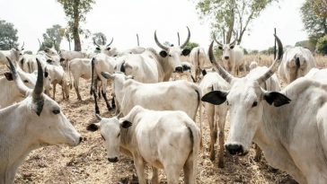 Imo Government Agrees To Pay Fulani Herdsmen N8 Million Over 55 Missing Cows 6
