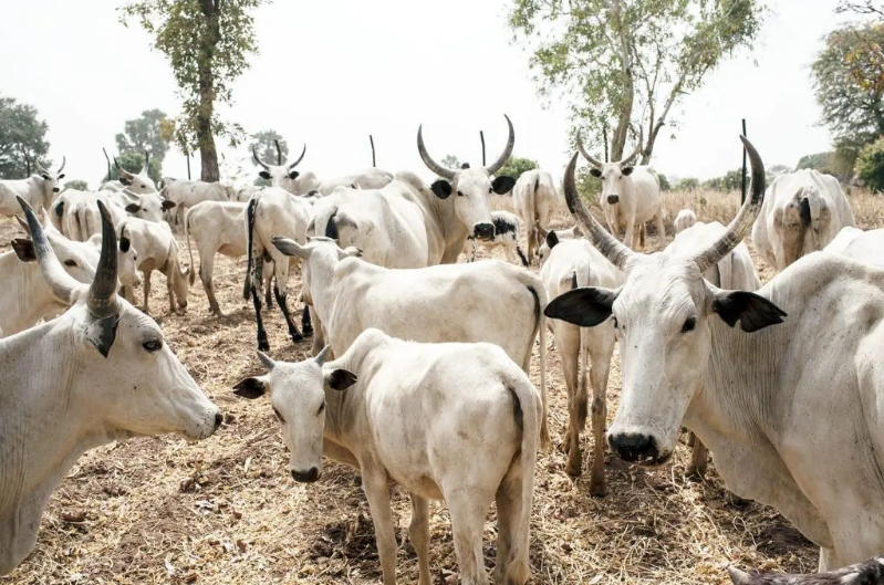 Imo Government Agrees To Pay Fulani Herdsmen N8 Million Over 55 Missing Cows 1