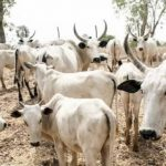 Police Arrests Adamawa Councillor For Cattle Rustling, Recovers 11 Stolen Cows From Him 27