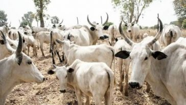 Police Arrests Adamawa Councillor For Cattle Rustling, Recovers 11 Stolen Cows From Him 3