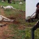 Fulani Herdsman Cries For Justice After Losing 34 Cows To Armed Hoodlums In Kogi State 28