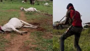 Fulani Herdsman Cries For Justice After Losing 34 Cows To Armed Hoodlums In Kogi State 2