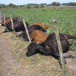Strange Lightning Kills 15 Cows In Ekiti 26