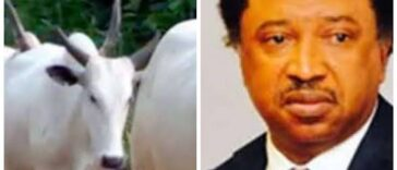 Senator Shehu Sani Cries Out As Kaduna-Abuja Train Kills Over 60 Cows Belonging To Fulani Herdsmen 24
