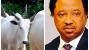 Senator Shehu Sani Cries Out As Kaduna-Abuja Train Kills Over 60 Cows Belonging To Fulani Herdsmen 8