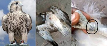 World's Fastest Bird, Peregrine Falcon Killed In Delta After 'Flying Into Nigeria From Finland' 26