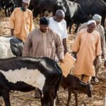 Buhari Visits His Cows In Daura After Refusing To Visit School Of Kidnapped Students In Kankara [Video] 27