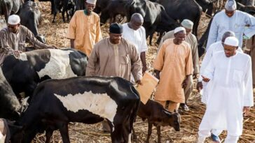 Buhari Visits His Cows In Daura After Refusing To Visit School Of Kidnapped Students In Kankara [Video] 3
