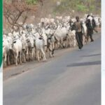 President Buhari Should Ban Movement Of Cows From North To South - Governor Ganduje 27
