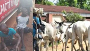 Amotekun Ejects 37 Herders, 5000 Cows Over Refusal To Register With Ondo Government 5