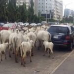 FCT Authorities Bans Open Grazing In Abuja, Establishes RUGA In Three Area Councils 28