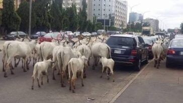 FCT Authorities Bans Open Grazing In Abuja, Establishes RUGA In Three Area Councils 6