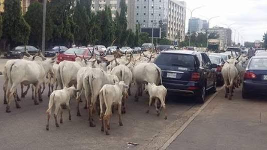 FCT Authorities Bans Open Grazing In Abuja, Establishes RUGA In Three Area Councils 1