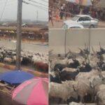 Herders Flee As Amotekun Arrest Over 100 Cows For Violating Open Grazing Rules In Ondo 26
