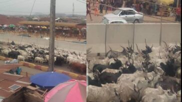 Herders Flee As Amotekun Arrest Over 100 Cows For Violating Open Grazing Rules In Ondo 2