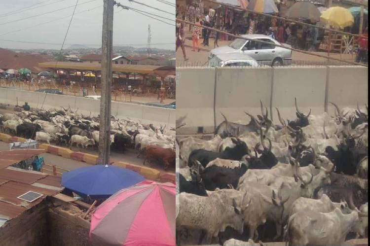 Herders Flee As Amotekun Arrest Over 100 Cows For Violating Open Grazing Rules In Ondo 1