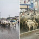 Amotekun Arrests Another 300 Cows For Violating Grazing Laws In Ogun 26