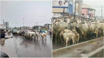 Amotekun Arrests Another 300 Cows For Violating Grazing Laws In Ogun 2