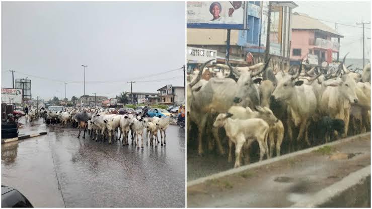 Amotekun Arrests Another 300 Cows For Violating Grazing Laws In Ogun 1