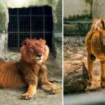 Lion Dies Of Starvation In Kaduna Zoo Two Weeks After Its Photos Went Viral On Social Media 28