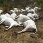 50 Cows Die Mysteriously In Ondo Community 29