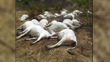 50 Cows Die Mysteriously In Ondo Community 9