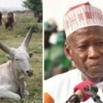Kano Government Budgets N9.2 Million To Purchase Five Cows