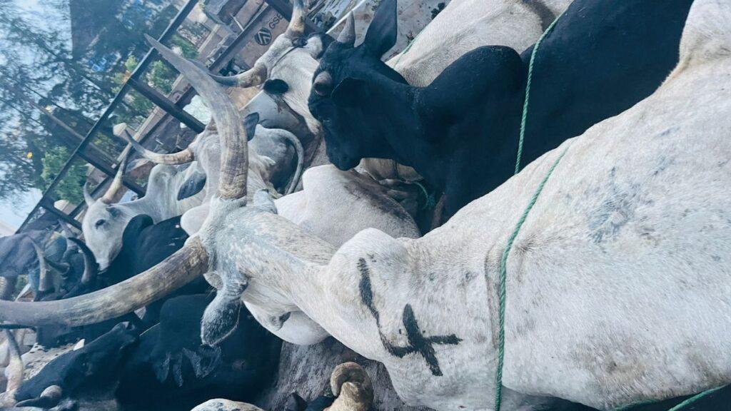 Man Gifts Governor Umahi 12 Cows In Appreciation For Ebonyi Developments [Photos]