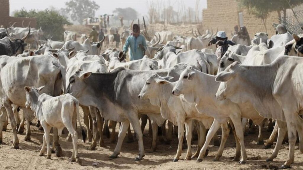 Cows Will Cost N2 Million Each If Lagos Passes Anti-Open Grazing Law - Miyetti Allah
