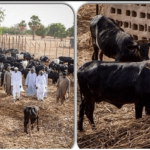 """""""Even Our Cows Are Happy With Buhari's Victory"""" - Fulani Herdsmen, Miyetti Allah 9"""