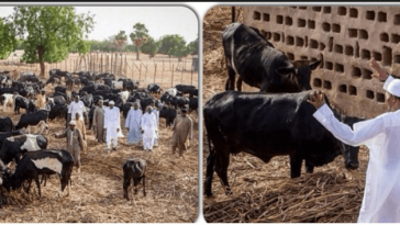 """Even Our Cows Are Happy With Buhari's Victory"" - Fulani Herdsmen, Miyetti Allah 4"